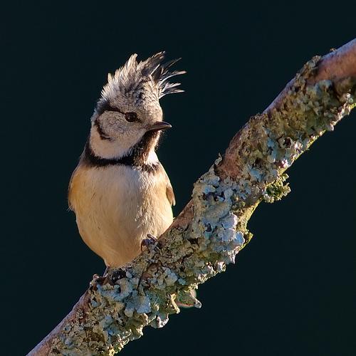 フリー画像| 動物写真| 鳥類| 野鳥| カンムリガラ|