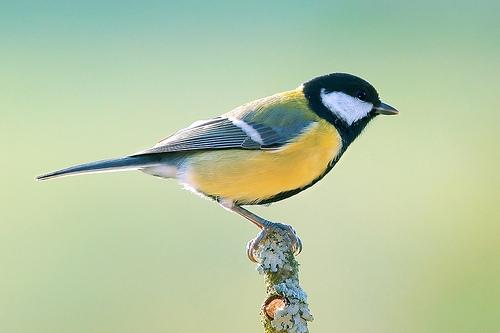 フリー画像| 動物写真| 鳥類| 野鳥| シジュウカラ|