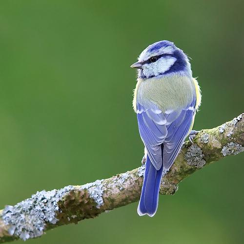 フリー画像| 動物写真| 鳥類| 野鳥| アオガラ| 青い鳥|