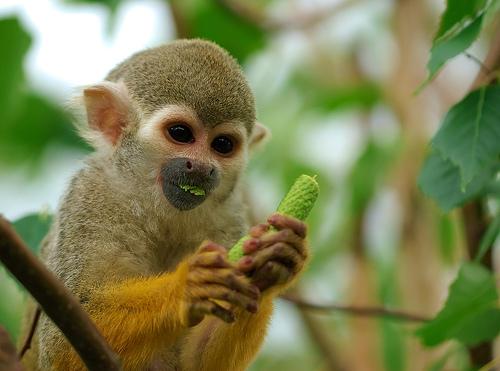 フリー画像| 動物写真| 哺乳類| 猿/サル| 小動物| リスザル|
