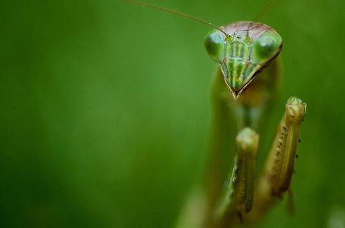 フリー画像| 節足動物| 昆虫| カマキリ| 緑色/グリーン|