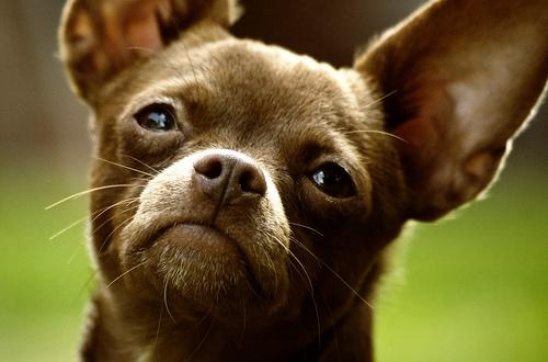 フリー画像| 動物写真| 哺乳類| イヌ科| 犬/イヌ| チワワ|