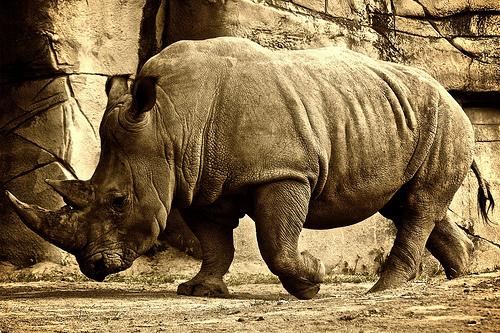 フリー画像| 動物写真| 哺乳類| 犀/サイ| セピア|