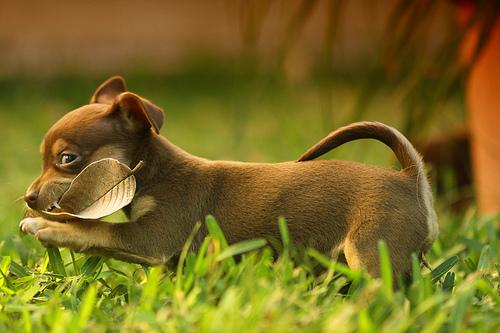 フリー画像| 動物写真| 哺乳類| イヌ科| 犬/イヌ| 子犬| チワワ|