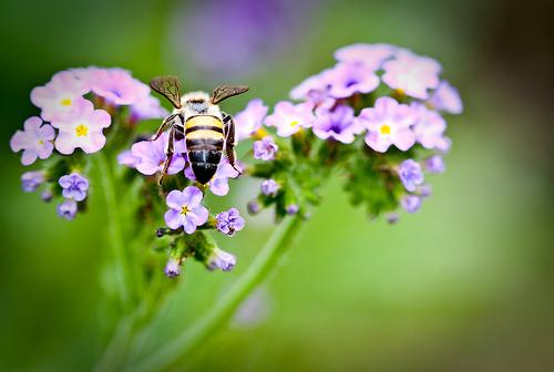 フリー画像| 節足動物| 昆虫| 蜂/ハチ| 蜂/ハチ| 蜜蜂/ミツバチ| 花/フラワー|