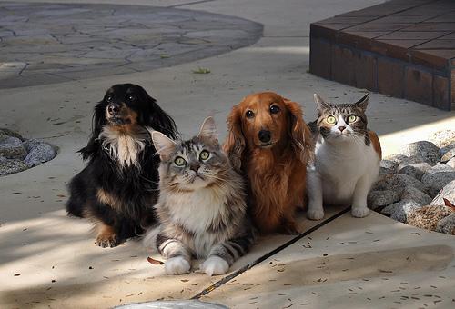 フリー画像| 動物写真| 哺乳類| ネコ科| 猫/ネコ| イヌ科| 犬/イヌ| ミニチュアダックスフンド|