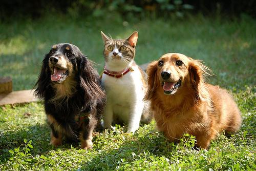 フリー画像| 動物写真| 哺乳類| イヌ科| 犬/イヌ| ミニチュアダックスフンド| 猫/ネコ|