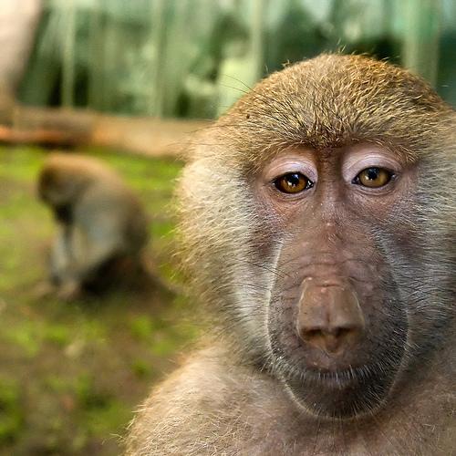 フリー画像|動物写真|哺乳類|猿/サル|