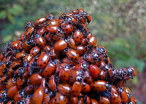 フリー画像| 節足動物| 昆虫| てんとう虫/テントウムシ| 大群/群集|