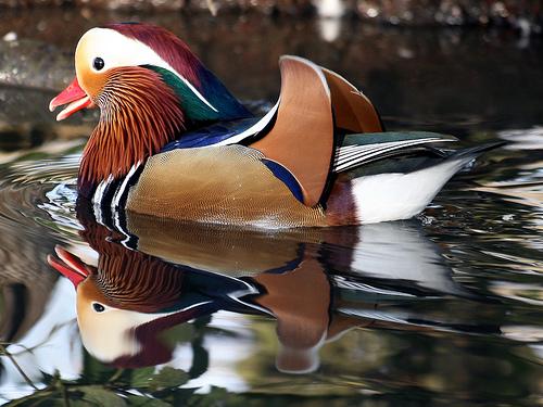 フリー画像|動物写真|鳥類|野鳥|オシドリ|