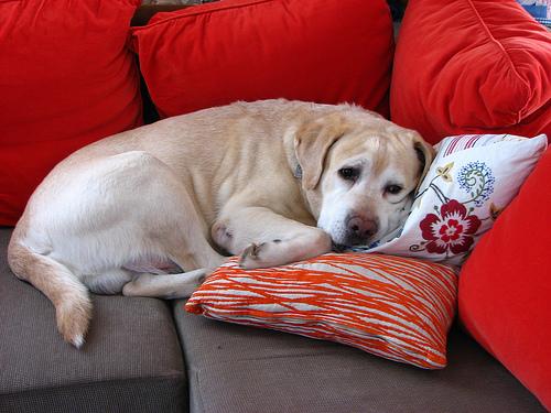 フリー画像  動物写真  哺乳類  イヌ科  犬/イヌ  ラブラドール・レトリバー 