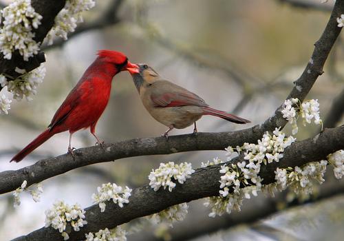 フリー画像| 動物写真| 鳥類| 野鳥| 恋人/カップル| キス/KISS| ショウジョウコウカンチョウ|