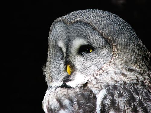フリー画像| 動物写真| 鳥類| 猛禽類| 梟/フクロウ| カラフトフクロウ|