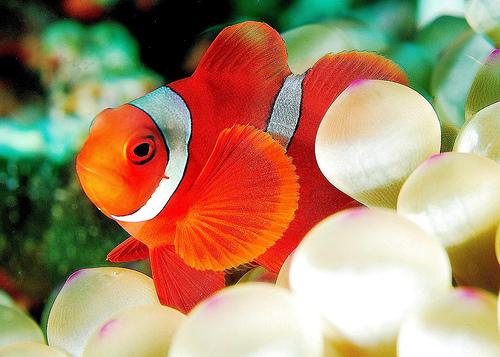 フリー画像| 動物写真| 魚類| カクレクマノミ/クラウンフィッシュ| イソギンチャク|