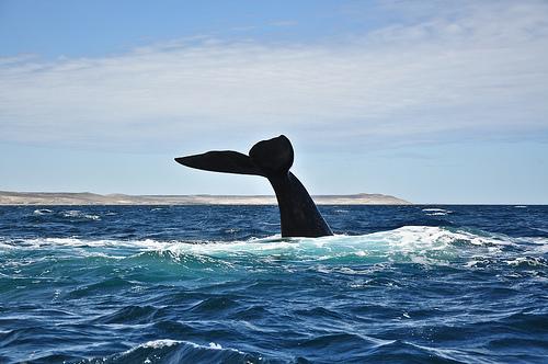 フリー画像| 動物写真| 哺乳類| 鯨/クジラ| 尾びれ|