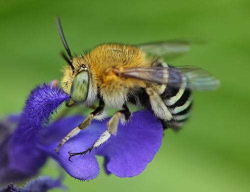 フリー画像| 節足動物| 昆虫| 蜂/ハチ|