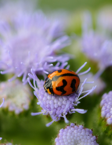 フリー画像| 節足動物| 昆虫| てんとう虫/テントウムシ|