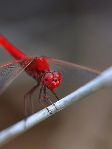 フリー画像| 節足動物| 昆虫| とんぼ/トンボ| 赤とんぼ|