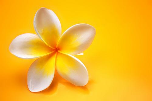 フリー画像| 花/フラワー| フランジパニ/プルメリア| 黄色/イエロー|