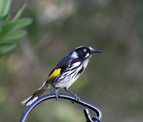 フリー画像| 動物写真| 鳥類| 野鳥| メジロキバネミツスイ|