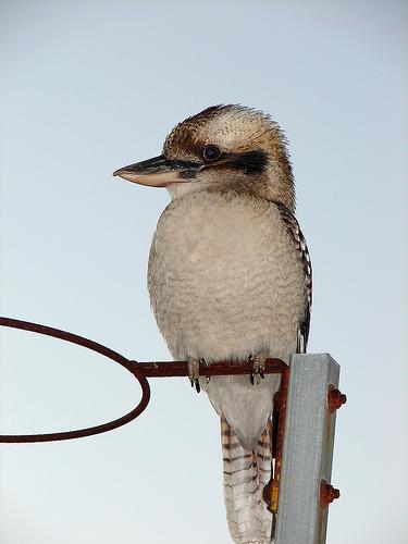 フリー画像| 動物写真| 鳥類| 野鳥| カワセミ| ワライカワセミ|