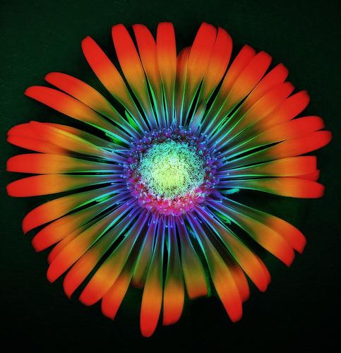 フリー画像| 花/フラワー| ガーベラ|