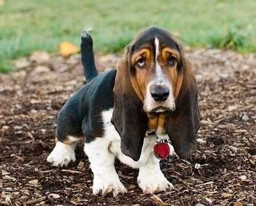 フリー画像| 動物写真| 哺乳類| イヌ科| 犬/イヌ| バセット・ハウンド|
