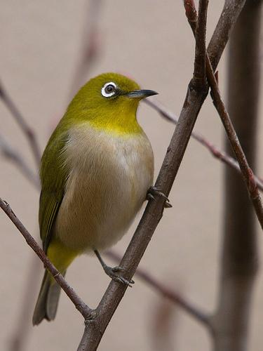 フリー画像| 動物写真| 鳥類| 野鳥| メジロ|