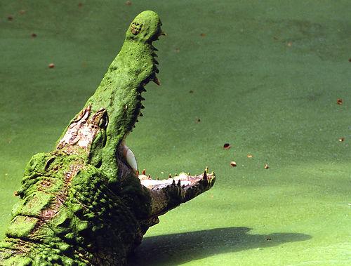 フリー画像| 動物写真| は虫類| ワニ| 叫ぶ| 緑色/グリーン|      フリー素材|