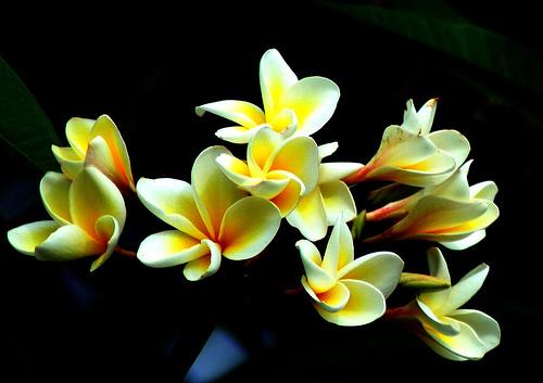 フリー画像| 花/フラワー| フランジパニ/プルメリア|         フリー素材|