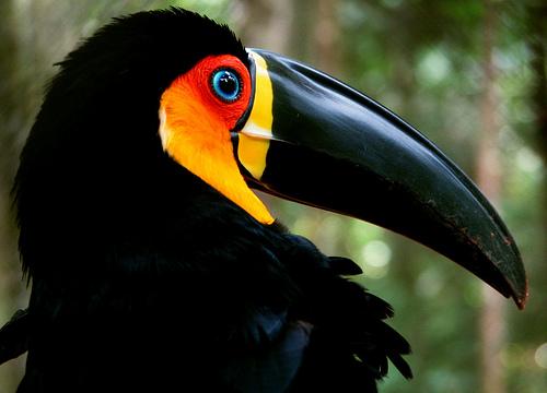 フリー画像| 動物写真| 鳥類| オオハシ|        フリー素材|