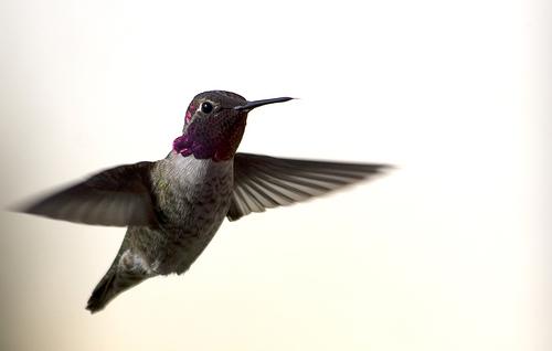 フリー画像| 動物写真| 鳥類| 野鳥| ハチドリ/ハミングバード|       フリー素材|