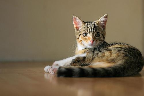 フリー画像| 動物写真| 哺乳類| ネコ科| 猫/ネコ| 子猫| 三毛猫|     フリー素材|