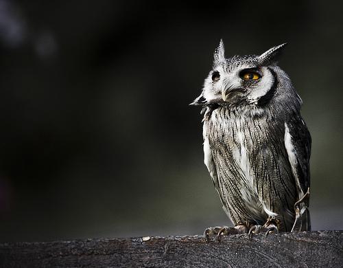 フリー画像| 動物写真| 鳥類| 猛禽類| 梟/フクロウ| コノハズク|      フリー素材|