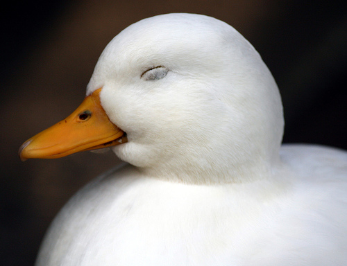 フリー画像|動物写真|鳥類|アヒル|寝顔/寝相/寝姿|笑顔/スマイル|フリー素材|