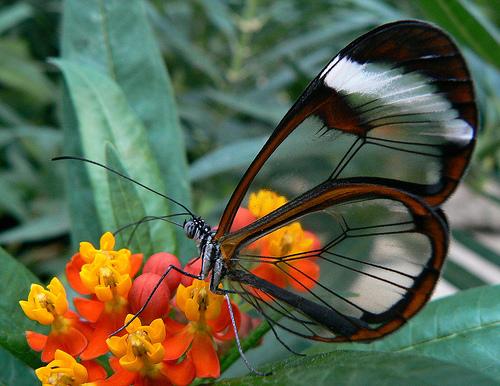 フリー画像| 節足動物| 昆虫| 蝶/チョウ| ツマジロスカシマダラ/Greta oto|       フリー素材|