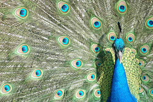 フリー画像  動物写真  鳥類  孔雀/クジャク  求愛行動        フリー素材 