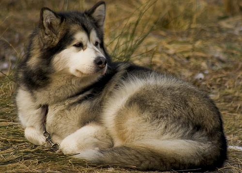 フリー画像  動物写真  哺乳類  イヌ科  犬/イヌ  アラスカン・マラミュート       フリー素材 