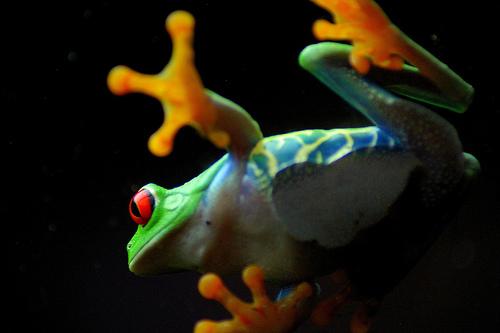 フリー画像| 両生類| 蛙/カエル| アカメガエル|        フリー素材|