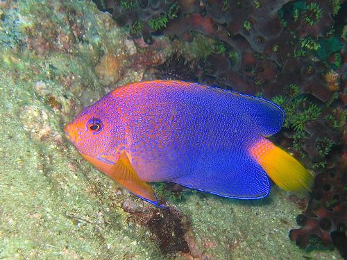 フリー画像| 動物写真| 魚類| レンテンヤッコ|        フリー素材|