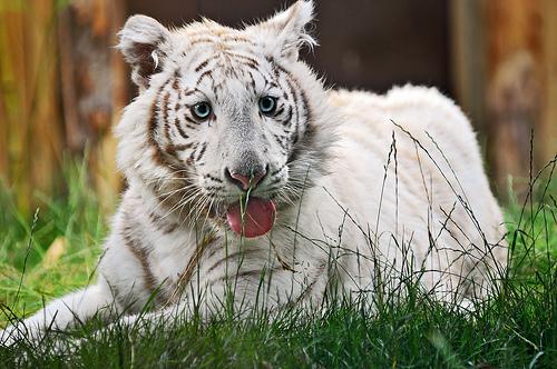 フリー画像| 動物写真| 哺乳類| ネコ科| 虎/トラ| ホワイトタイガー| あっかんべー!|     フリー素材|