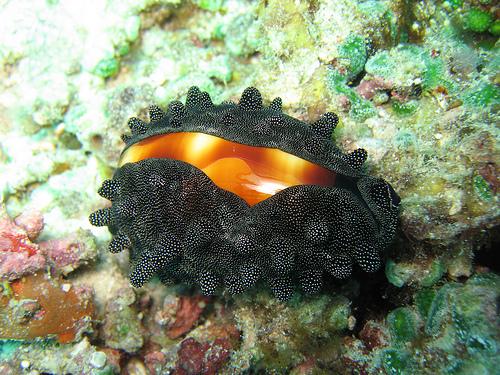 フリー画像| 軟体動物| 貝類| 樽宝/タルダカラ|        フリー素材|