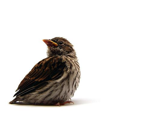 フリー画像| 動物写真| 鳥類| チャガシラヒメドリ| 雛/ヒナ|       フリー素材|