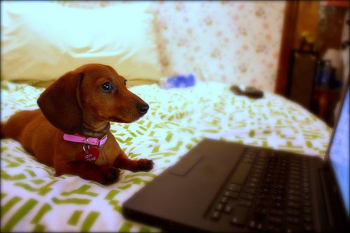 フリー画像| 動物写真| 哺乳類| イヌ科| 犬/イヌ| ミニチュアダックスフンド| パソコン/PC|     フリー素材|