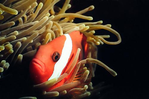 フリー画像| 動物写真| 魚類| ハマクマノミ| イソギンチャク|       フリー素材|