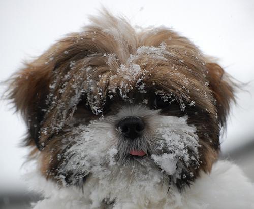 フリー画像  動物写真  哺乳類  イヌ科  犬/イヌ  マルチーズ       フリー素材 
