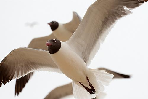 フリー画像| 動物写真| 鳥類| 野鳥| カモメ| ワライカモメ|      フリー素材|