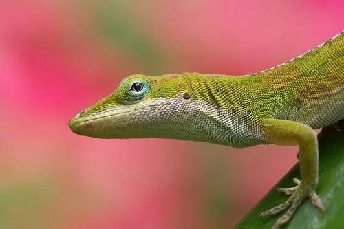 フリー画像| 動物写真| は虫類| トケゲ| アノールトカゲ|       フリー素材|