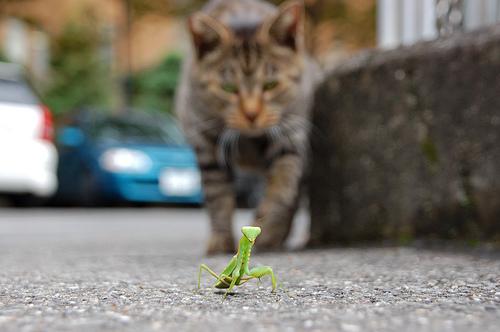 フリー画像| 節足動物| 昆虫| カマキリ| 動物写真| 哺乳類| ネコ科| 猫/ネコ|    フリー素材|