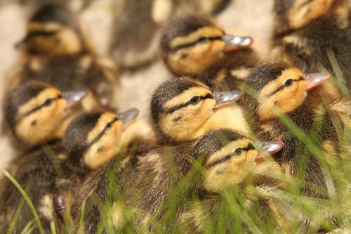 フリー画像|動物写真|鳥類|鴨/カモ|雛/ヒナ|